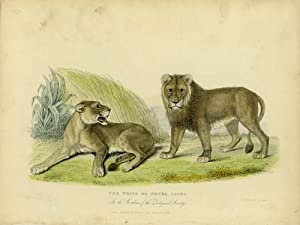 The White or Silver Lions. In the Gardens of the Zoological Society.