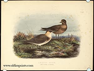Arctic Skua. Adult Male and Female.