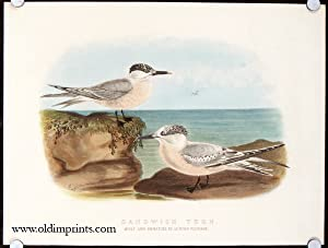 Sandwich Tern. Adult and Immature in Autumn Plumage.