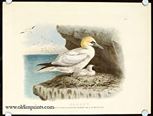 Gannet. Adult Female & Nestling Between Five & Six Weeks OId.