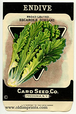 Endive. Broad Leaved Escarole Schiani.