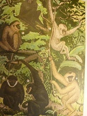 Les Mammifères de l'Indochine - les Gibbons: BOURRET (René)