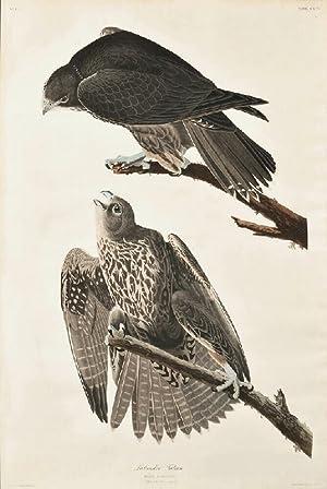 Labrador Falcon, Plate CXCVI [from: Birds of: Audubon, John James.