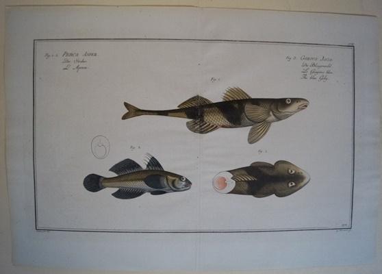 Bloch: Altkolorierter Kupferstich 1782: Der Streber.Fische Poissons: Bloch, Marcus Elieser:
