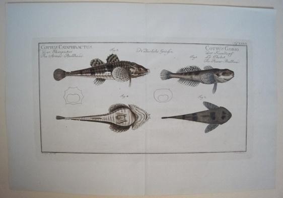 Bloch: Altkolorierter Kupferstich 1782: Der Steinpicker.Fische Poissons: Bloch, Marcus Elieser:
