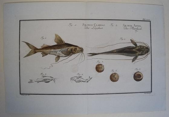Bloch: Altkolorierter Kupferstich 1782: Der Langbart.Fische Poissons: Bloch, Marcus Elieser: