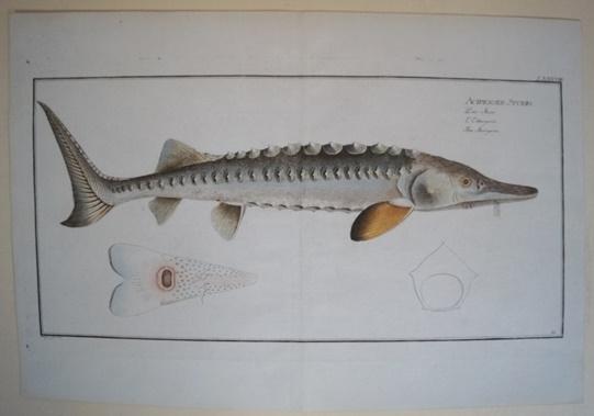 Bloch: Altkolorierter Kupferstich 1782: Der Stoer.Fische Poissons: Bloch, Marcus Elieser:
