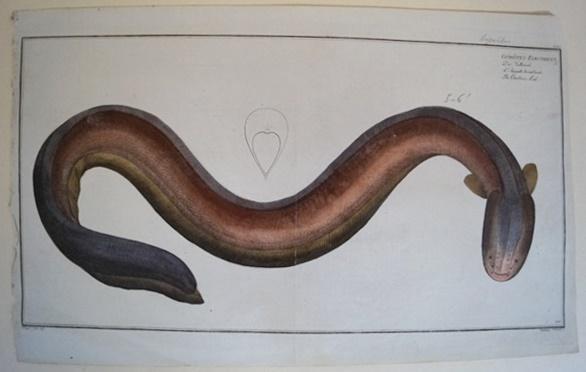 Bloch: Altkolorierter Kupferstich 1782: Der Zitteraal.Fische Poissons: Bloch, Marcus Elieser: