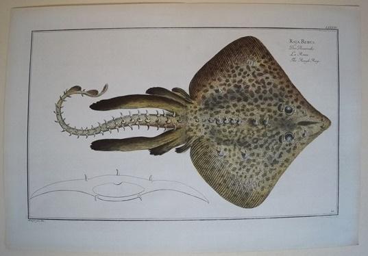 Bloch: Altkolorierter Kupferstich 1782: Der Dornroche.Fische Poissons: Bloch, Marcus Elieser: