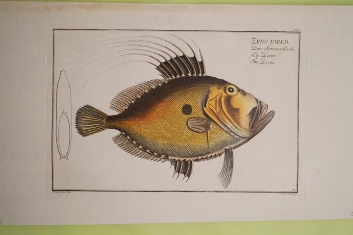Bloch: Altkolorierter Kupferstich 1782: Der Sonnenfisch Fische: Bloch, Marcus Elieser: