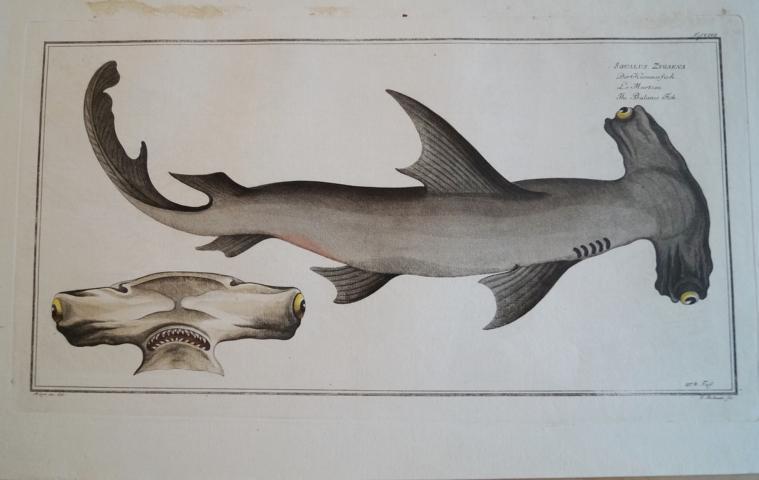 Bloch: Der Hammerfisch. Altkolorierter Kupferstich 1782.Fische Poissons: Bloch, Marcus Elieser: