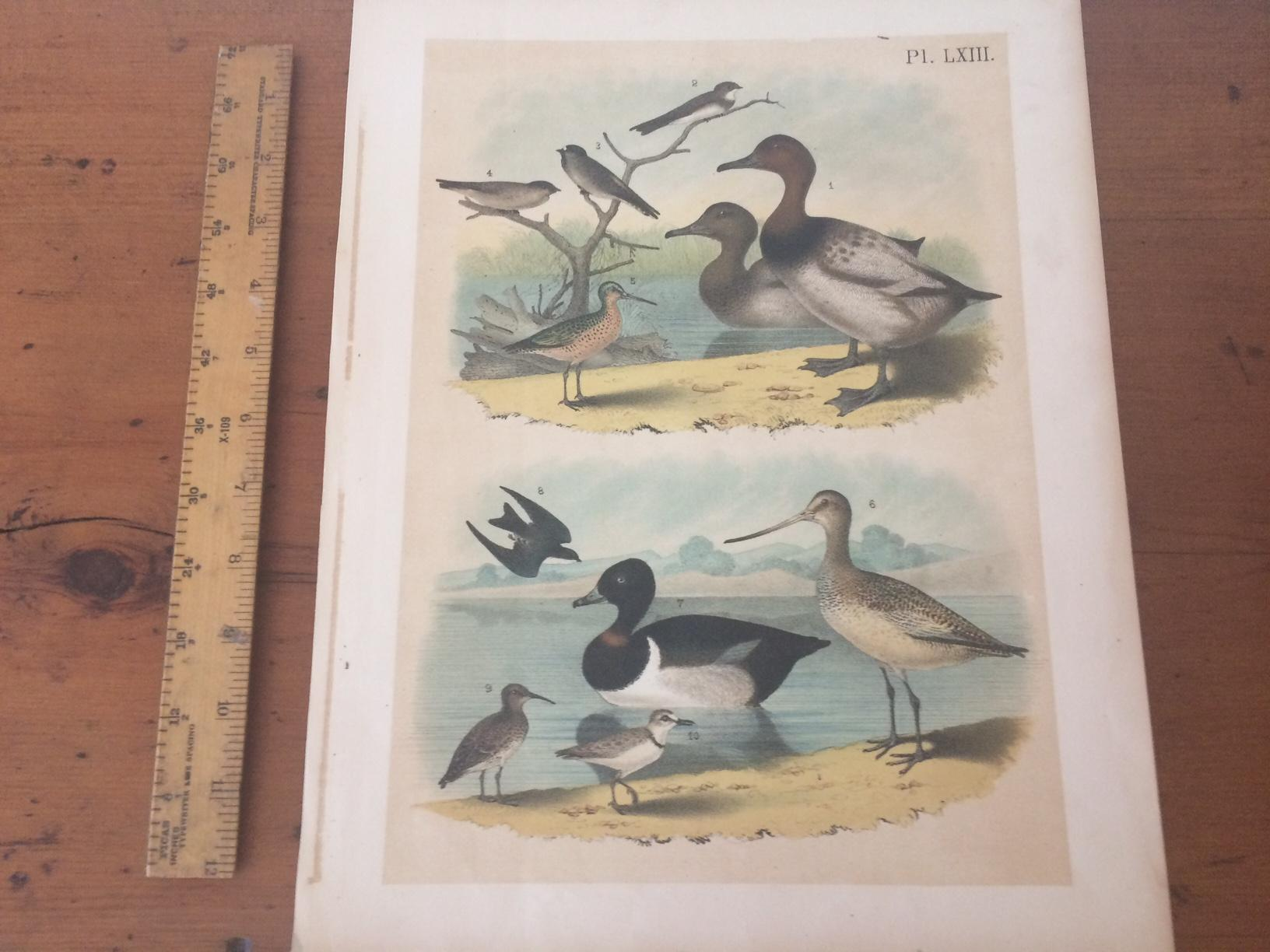 PLATE LXIII: CANVAS-BACK DUCK, BANK SWALLOW, CLIFF SWALLOW, ROUGH-WINGED SWALLOW, RED-BREASTED SNIPE, GREAT MARBLED GODWIT, RING-NECKED DUCK, WHITE-B (bi_22734905045) photo