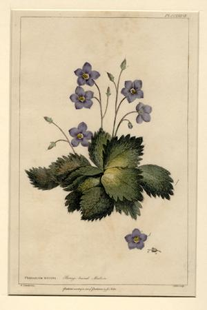 Verbascum myconi. Borage-leaved mullein. Hand-colored botanical print. 420 x 264 mm. Matted: Miller...