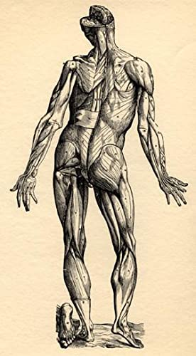 Icones anatomicae. Tabulae selectae. Epitome. Third muscle: Vesalius, Andreas