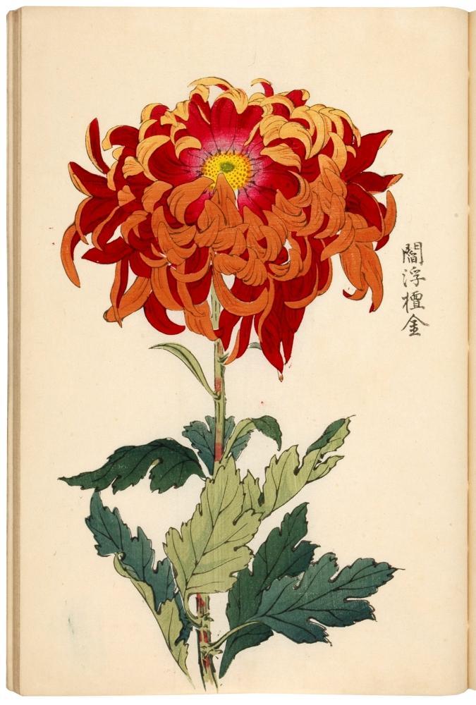 Keika Hyakukiku Illustrations Of Chrysanthemums By Hasegawa