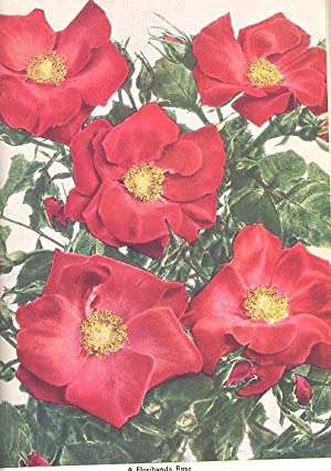 The Rose Annual 1952. [Winter Hardiness; The: A Norman, Wilhelm