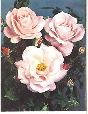 The Rose Annual, 1962. [Symposium on Pruning;: F Royalton Kisch
