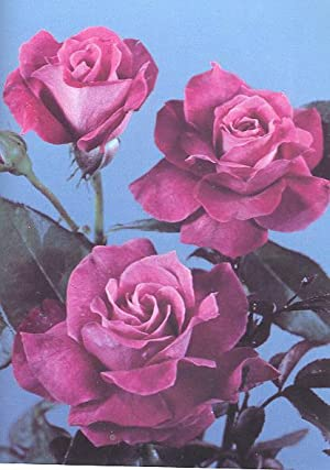 The American Rose Society Annual, 1978 [Vol.63]: American Rose Society.