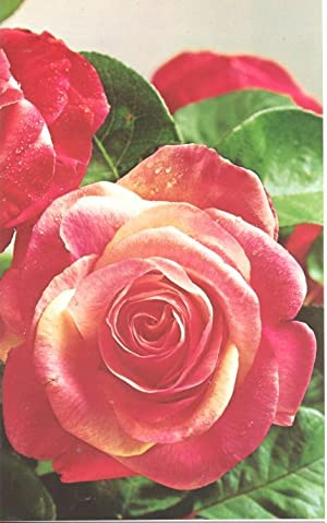 The American Rose Annual, 1975. [Roses in: Goldstein, Harold S.