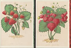 Two Blank note cards of STRAWBERRIES from Report of the Commissioner of Patents for the Year 1853