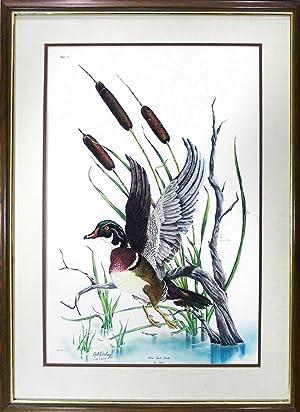 Wood Duck Drake, framed print: Wesling, Bill
