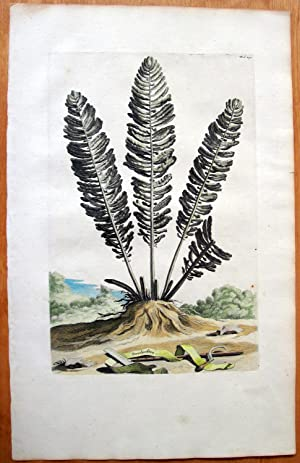 antique copperplate engraving botanical