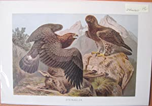 Antique Chromolithograph. Golden Eagles.