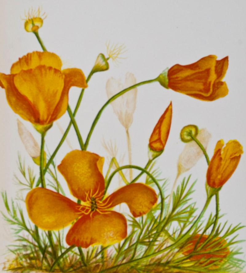Wild Flowers of the Pacific Coast From Original Water Color Sketches Drawn from Nature: Thayer, ...