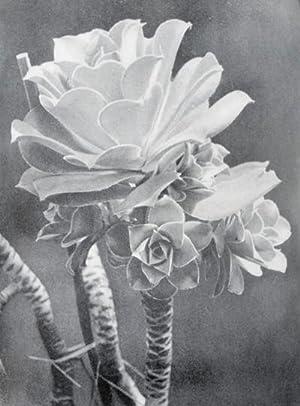 Die Welt der Pflanze: Band II, Crassula: Fuhrmann, Ernst (editor); Renger-Patzsch (photogr.)
