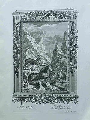 Rupicapra, Ibex, Bubalus. Gems, Steinbock, Büffel. Scheuchzer-Bibel.: Fridrich, I.A.; Scheuchzer,