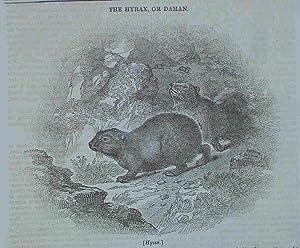 Hyrax. Original engraved Print. Antique Engraving