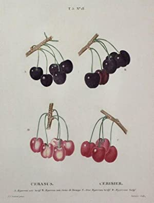 "Kirschen. - Bigarreau noir. - Pierre-Joseph Redouté. - ""Cerarsus / Cerisier""...."