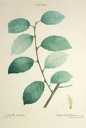 "Sal-Weide. - Salix Ulmifolia / Salix caprea. - Pierre-Joseph Redouté. - ""Salix ..."