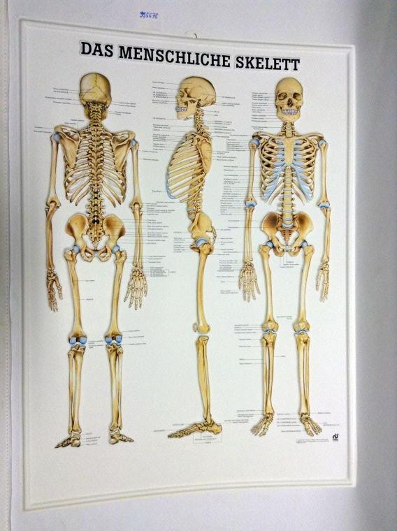 das menschliche skelett - ZVAB