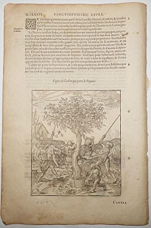 16th-century leaf with two illustrations, one showing the harvesting of white pepper and the othe...