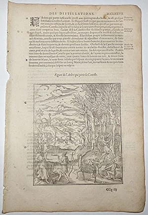 16th-century leaf with a large illustration showing the harvesting of cinnamon from Ambroise Paré...