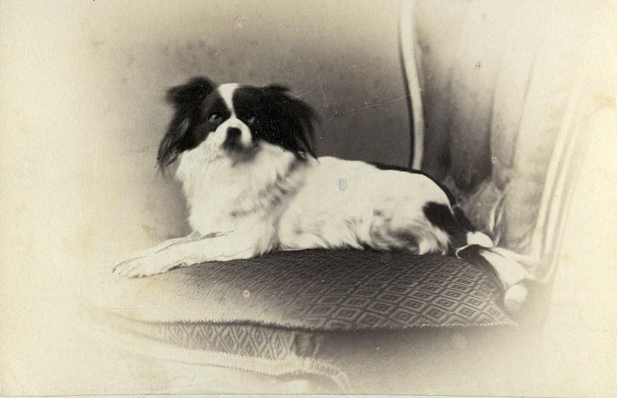 United_Kingdom_Exeter_Pekingese_Dog_Portrait_Old_CDV_Photo_De_Niceville_1870_De_Niceville__