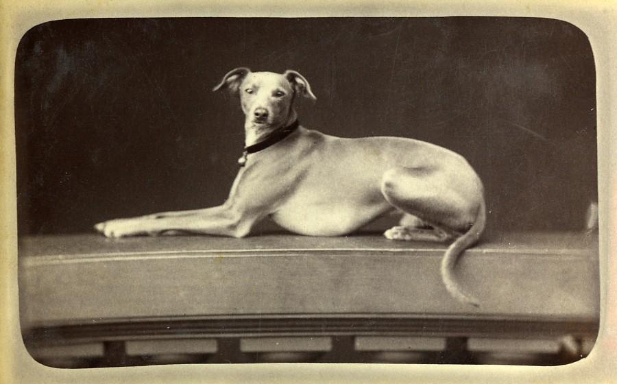 France_Paris_Greyhound_Dog_Portrait_Old_CDV_Photo_Gevrey_1880_G_GEVREY__