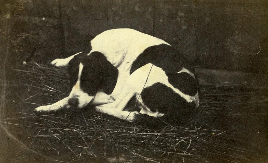 France_Sleeping_Dog_Portrait_Old_Photo_1870_ANONYMOUS_[_]