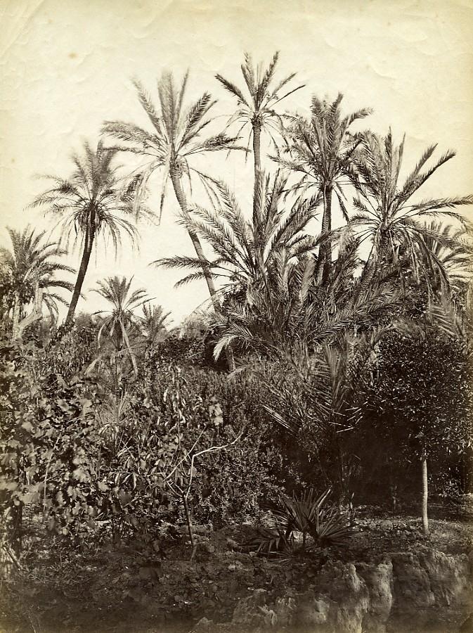 Algeria_Oasis_Garden_Palm_Trees_old_Photo_1880_Anonymous__