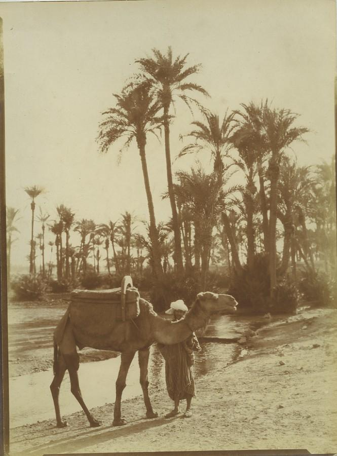 Morocco_Marrakech_Palmeraie_Palm_Grove_Camel_Old_Photo_Felix_1915_FELIX__