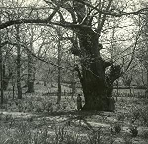 France Corsica San Gavino Giant Chesnut Old: POSSEMIERS