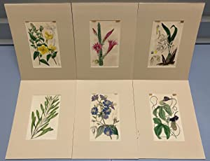 SIX original hand-colored flower prints from Curtis's Botanical Magazine 1840 - each one matted a...