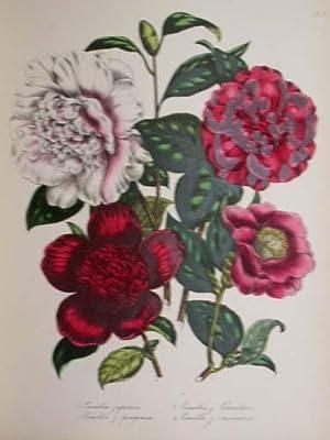 The Ladies' Flower-Garden Of Ornamental Greenhouse Plants.: LOUDON, [Jane Webb] [1807-1858].