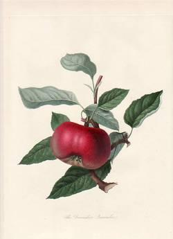 The Hawthornden Apple. (print)