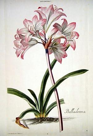 HORTUS NITIDISSIMIS . : Lilio - Narcissus: Trew, Christoph; Ehret,