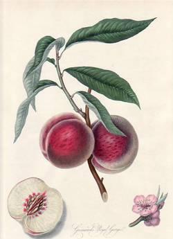 Grimwood's Royal George, or the Gross Mignonne Peach. (print)