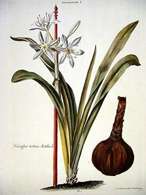 HORTUS NITIDISSIMIS . : Pancratium I; Narcissus Tertius Matthioli (print): Trew, Christoph