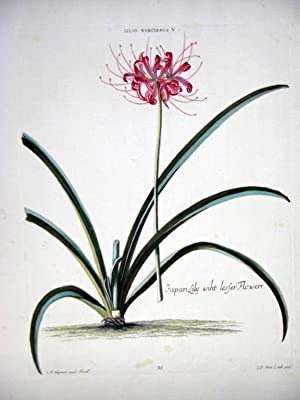 HORTUS NITIDISSIMIS . : Lilio Narcissus V;: Trew, Christoph; Ehret,