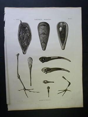 DESCRIPTION DE L'EGYPTE. Thèbes. Hypogées. Momies d'oiseaux,: BOQUET